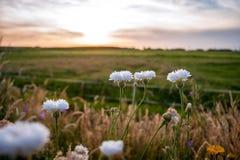 L'estate bianca selvaggia fiorisce nel sole di sera Fotografia Stock
