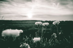 L'estate bianca selvaggia fiorisce nel sole di sera Immagine Stock Libera da Diritti