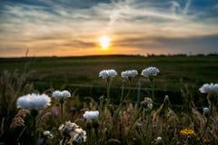 L'estate bianca selvaggia fiorisce nel sole di sera Fotografie Stock Libere da Diritti
