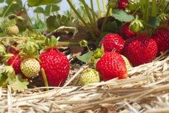 L'estate fruttifica l'agricoltura organica della paglia del giacimento della fragola Immagine Stock