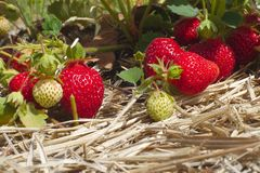 L'estate fruttifica l'agricoltura organica della paglia del giacimento della fragola Fotografia Stock