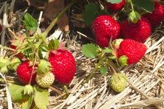 L'estate fruttifica l'agricoltura organica della paglia del giacimento della fragola Fotografie Stock Libere da Diritti
