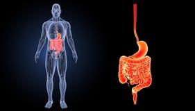 L'estomac et l'intestin bourdonnent avec la vue antérieure d'anatomie illustration de vecteur