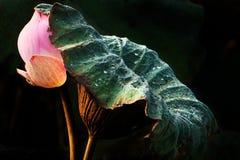 L'estratto della foglia del loto protegge il fiore di loto Fotografia Stock