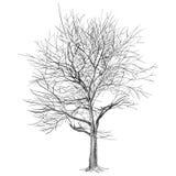 Grande albero nudo senza foglie (albero di Sakura) - disegnato a mano Fotografia Stock
