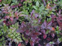 L'estratto giallo luminoso di colore dell'edera di bellezza del coleus naturale delle rose di rovo di autunno fiorisce l'autunno  Immagine Stock Libera da Diritti