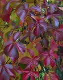 L'estratto giallo luminoso di colore dell'edera di bellezza del coleus naturale delle rose di rovo di autunno fiorisce l'autunno  Immagine Stock