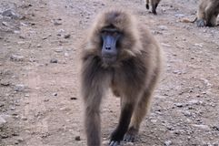 l'ethiopie Gelada est des espèces rares de primat image stock
