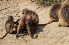 l'ethiopie Gelada est des espèces rares de primat images libres de droits