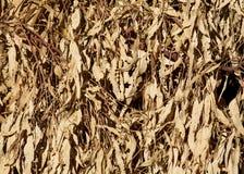 L'eucalyptus sec part du fond Photographie stock libre de droits