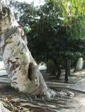 L'EUCALYPTUS - una pianta sempreverde alta sorprendente fotografia stock libera da diritti