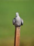 l'Eurasien a colleté la colombe (le decaocto de Streptopelia) photo stock
