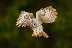 L'Eurasien Tawny Owl, aluco de vol de Strix, vert gentil a brouillé la forêt à l'arrière-plan Mouche de hibou dans la scène verte photos stock