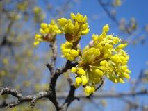 Européen de floraison Cornel Images stock