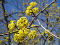 Fleurs jaunes de ressort - Européen Cornel Photo stock