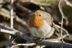 L'Européen Robin a soufflé  Images libres de droits