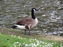 L'Europe, Belgique, la Province de Flandre-Occidentale, Bruges, un canard avec un cou noir se tient sur le rivage de l'étang photo stock
