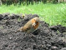 L'Europe Robin photos stock