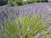 l'europe Sud de la France La Provence Région de Voucluse Bord typique : culture de lavande photos stock
