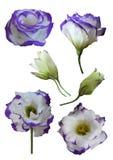 L'eustoma fiorisce (Lisianthus) Fotografia Stock