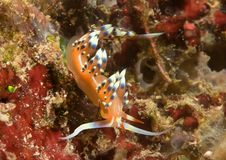 L'exoptata désiré ou souhaitable de beaucoup de flabellina se repose sur le corail de Bali photo libre de droits