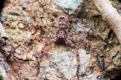 L'extrémité et clôturent la vue de Lichen Huntsman Spider Pandercetes gracilis Images libres de droits
