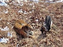 L'Extrême Orient, Russie, le tigre d'Amur a fait des amis avec servi à lui pour le dîner une chèvre et quelques jours vivant avec Photo stock