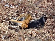 L'Extrême Orient, Russie, le tigre d'Amur a fait des amis avec servi à lui pour le dîner une chèvre et quelques jours vivant avec Photo libre de droits
