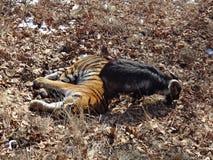 L'Extrême Orient, Russie, le tigre d'Amur a fait des amis avec servi à lui pour le dîner une chèvre et quelques jours vivant avec Photos stock