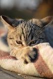 L'eyes2 du chat Image libre de droits