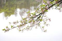 L a flor do p?ssego exterior fotografia de stock