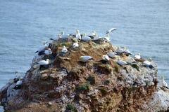 Lęgowi ptaki w falezach Helgoland Fotografia Royalty Free