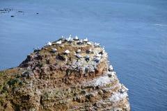 Lęgowi ptaki w falezach Helgoland Zdjęcie Royalty Free