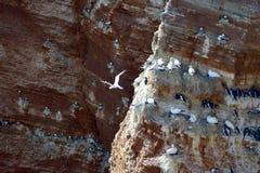 Lęgowi ptaki w falezach Helgoland Obrazy Stock