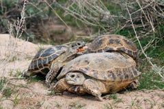 Lęgowy Stepowy tortoises Testudo horsfieldii Zdjęcie Royalty Free