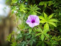 lęgowych jaskierów rolny pole kwitnie Israel purpurowej wiosna szerokiego biel Fotografia Stock