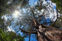L grandi allungamenti del pino al cielo Immagini Stock Libere da Diritti