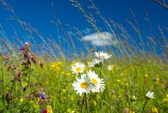 L Green Meadow with chamomile Royalty Free Stock Photo