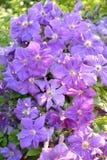 L'haut étroit de floraison de clématite Une sorte Mephistopheles Photo libre de droits