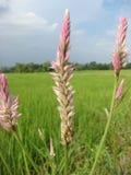 L'herbe centrale supérieure de couloir non-toxique se développent sur organique Image stock