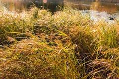L'herbe colorée en automne a accentué par le soleil de matin Photos libres de droits