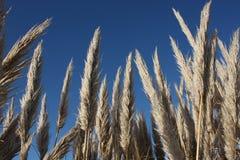 L'herbe couvre de chaume le ciel bleu Photo stock