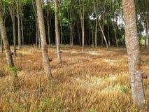 L'herbe d'or dans les arbres en caoutchouc font du jardinage, Hadyai, Songkhla, Thaïlande Photo libre de droits