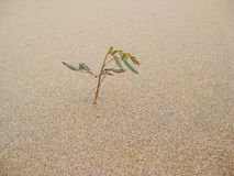 L'herbe dans le désert Photo stock
