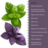 L'herbe de Basil laisse infographic, illustration de vecteur Photos stock