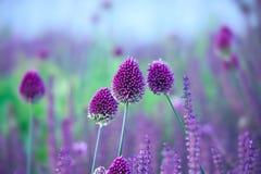 L'herbe de ciboulette fleurit - le sphaerocephalon d'allium sur le beau backgr Image stock