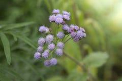 L'herbe de fines herbes sauvage verte fleurit Vernonia cinerea moins , Peu Photo stock