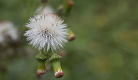 L'herbe de fines herbes sauvage verte fleurit Vernonia cinerea moins , Peu Photographie stock libre de droits