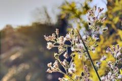L'herbe de fleur à détendent Image libre de droits