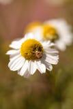 L'herbe de fleur de camomille a appelé le recutita de Matricaria Photographie stock libre de droits